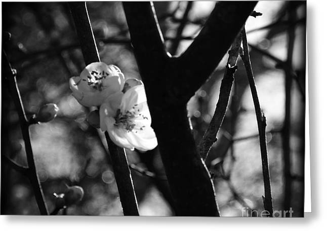 Not In Use Greeting Cards - Black and White Appleblossom Greeting Card by Eva Thomas