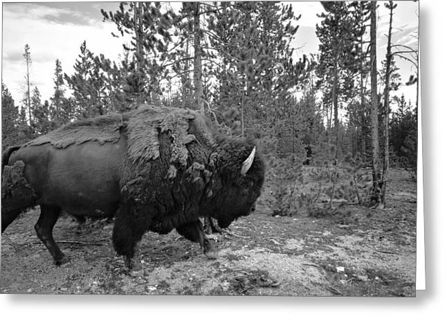Shed Greeting Cards - Black And White Bison In Yellowstone Greeting Card by Dan Sproul