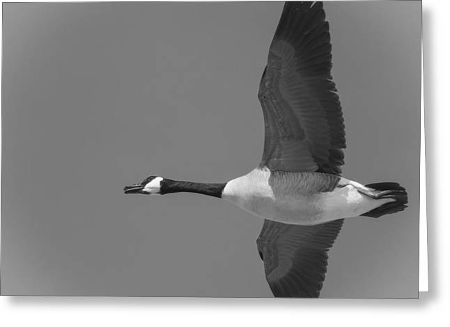 Thomas Young Photography Greeting Cards - Black and White Canadian Goose  Greeting Card by Thomas Young