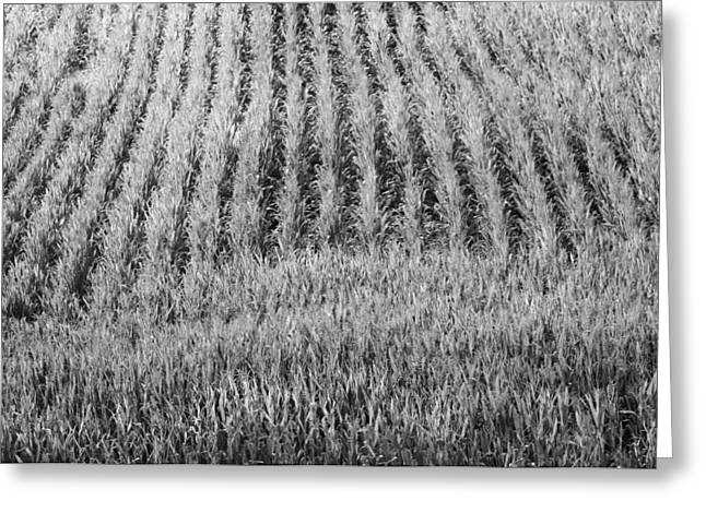 Cornfield Greeting Cards - Black And White Cornfield Greeting Card by Dan Sproul