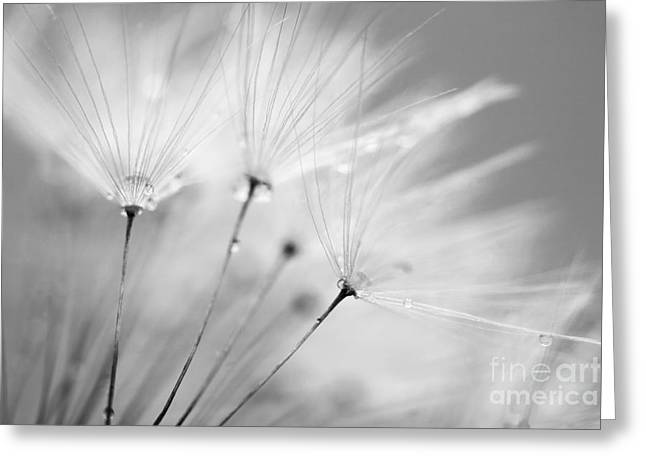 Snug Digital Greeting Cards - Black and White Dandelion and Water Droplets Greeting Card by Natalie Kinnear