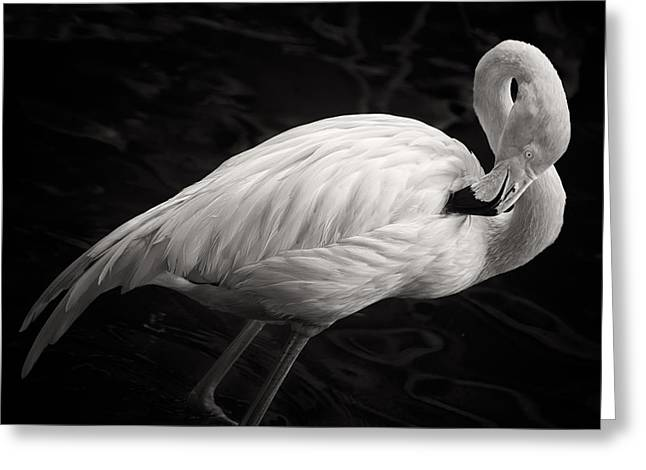 Preening Greeting Cards - Black and White Flamingo Greeting Card by Adam Romanowicz