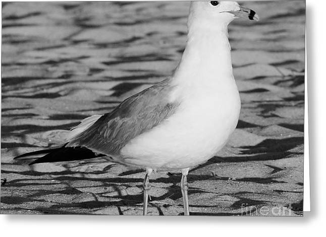 Best Ocean Photography Greeting Cards - Black and White Gull Greeting Card by D Hackett