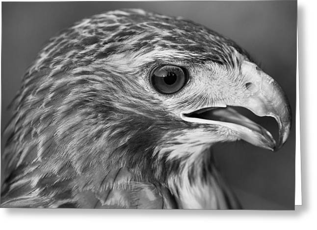Hawk Greeting Cards - Black And White Hawk Portrait Greeting Card by Dan Sproul