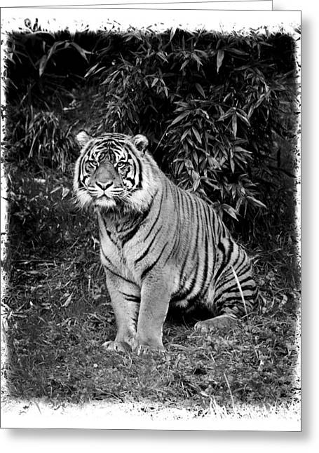 Growling Greeting Cards - Black and White Jungle Cat Greeting Card by Steve McKinzie