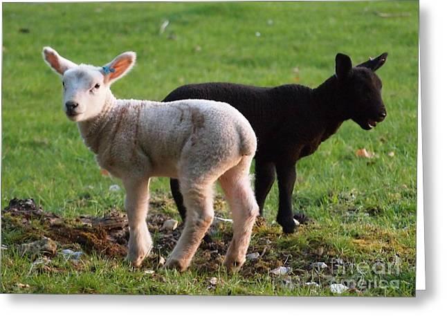 Ying Greeting Cards - Black and white lambs Greeting Card by Elizabeth Debenham