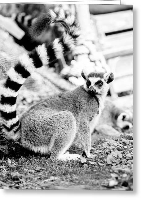 Black And White Lemur Greeting Card by Pati Photography