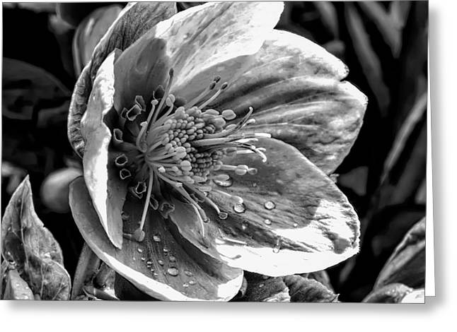 Helleborus Niger Greeting Cards - Black And White Monochrome  Greeting Card by Leif Sohlman