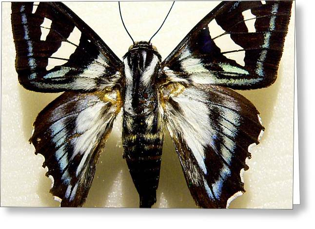 Morph Greeting Cards - Black and White Moth Greeting Card by Rosalie Scanlon