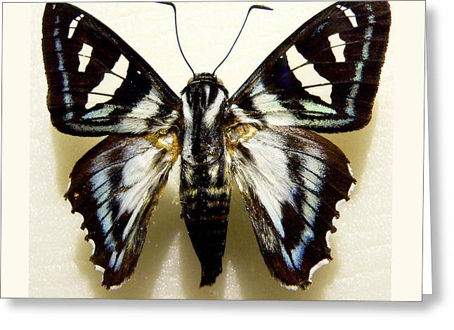 Black And White Moth Greeting Card by Rosalie Scanlon