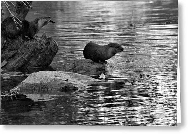 Reflection In Water Greeting Cards - Black And White Otters In The Wild Greeting Card by Dan Sproul