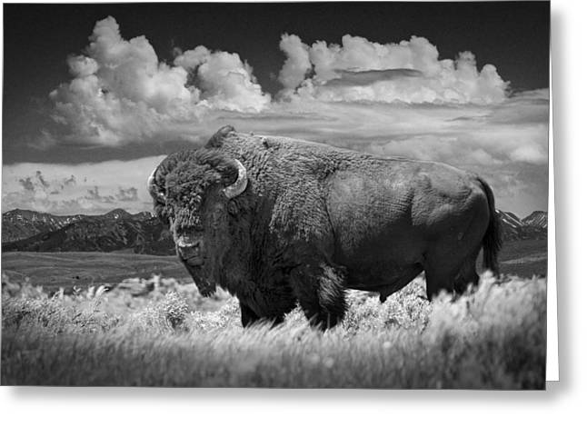 Mascots Greeting Cards - Black and White Photograph of an American Buffalo Greeting Card by Randall Nyhof