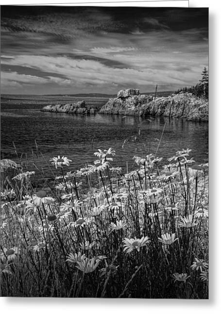 Black And White Photograph Of Daisies On Maine's Acadia Shoreline Greeting Card by Randall Nyhof