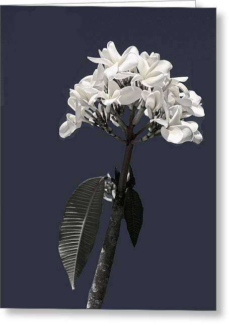 Rosalie Scanlon Greeting Cards - Black and White Plumeria Greeting Card by Rosalie Scanlon