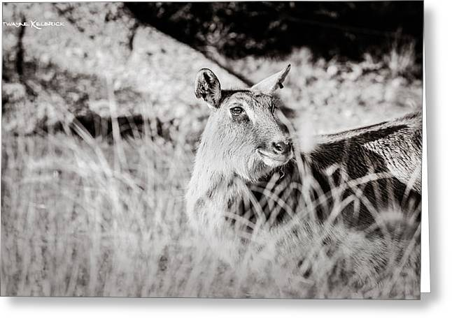 Amateur Photographer Greeting Cards - Black and white portrait of an innocent doe Greeting Card by Stwayne Keubrick