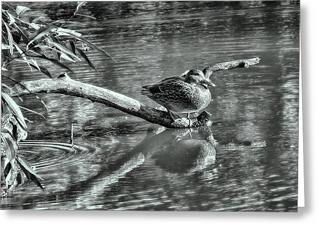 Trees Reflecting In Creek Greeting Cards - Black and white presentation of  Female mallard duck sitting on a log near and reflected in water Greeting Card by Leif Sohlman