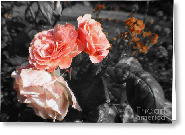 Rose Petals Greeting Cards - Black and White Roses Greeting Card by Michael Braham