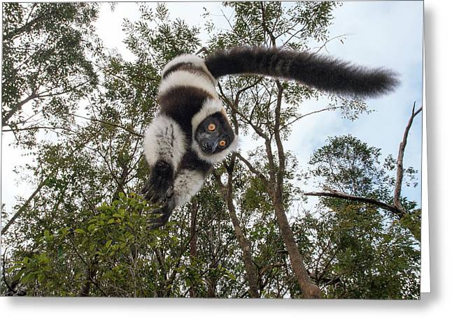 Black-and-white Ruffed Lemur Greeting Card by Dr P. Marazzi