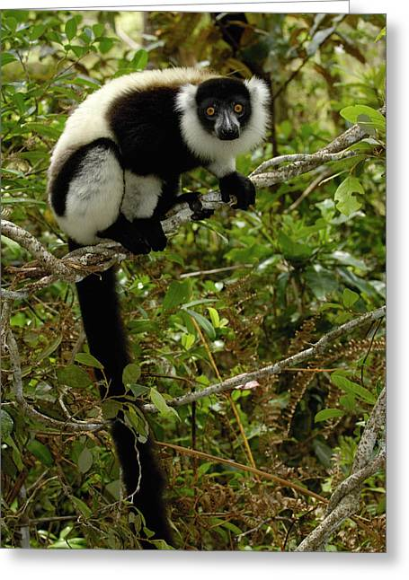 Variegata Greeting Cards - Black And White Ruffed Lemur Greeting Card by Pete Oxford