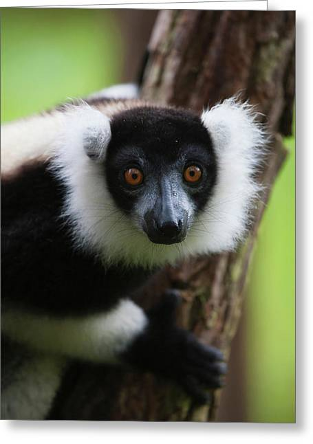 Black And White Ruffed Lemur (varecia Greeting Card by Keren Su