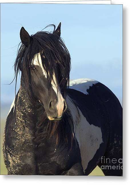 Wild Horses Greeting Cards - Black and White Stallion Comes Close Greeting Card by Carol Walker