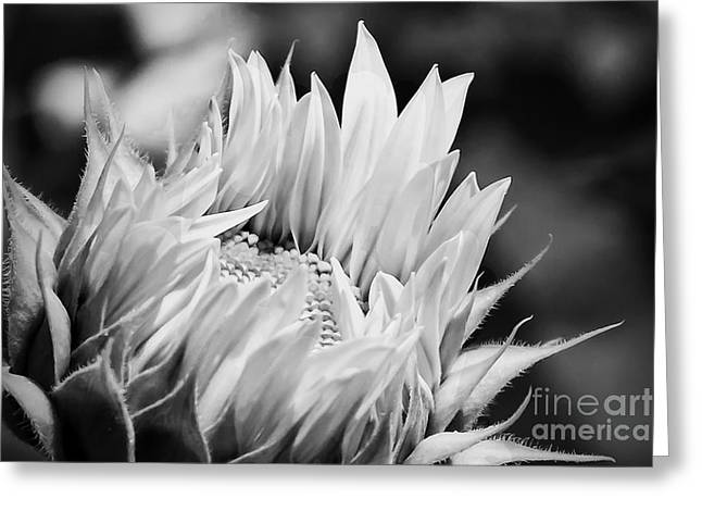 Floral Digital Art Greeting Cards - Black And White Sunflower Greeting Card by K Hines
