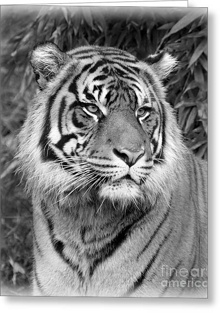 Growling Greeting Cards - Black and White Tiger Greeting Card by Steve McKinzie