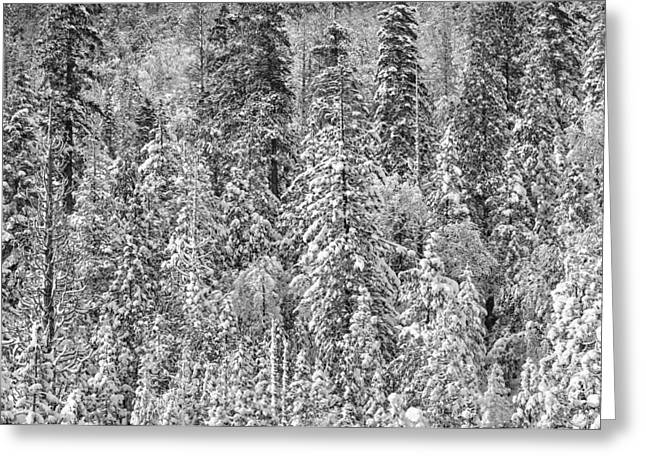Snow-covered Landscape Greeting Cards - Black and White Trees in a Forest Greeting Card by Brandon Bourdages