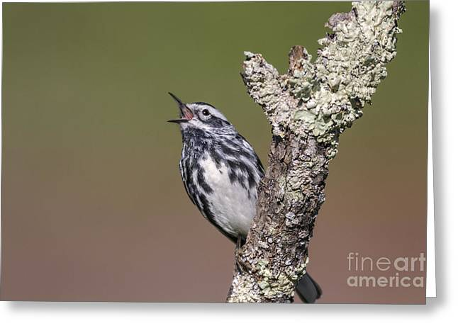 Black And White Warbler Greeting Card by Jim Zipp