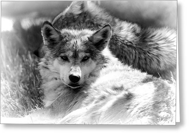 Soft Fur Greeting Cards - Black And White Wolf Stare Greeting Card by Dan Sproul