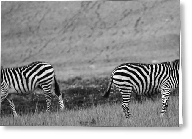 Beautiful Zebra Greeting Cards - Black And White Zebras Greeting Card by Dan Sproul
