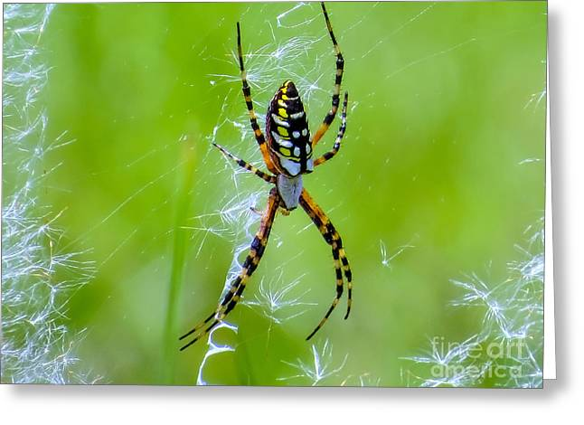 Spiderweb Art Greeting Cards - Black and yellow garden spider Greeting Card by Zina Stromberg