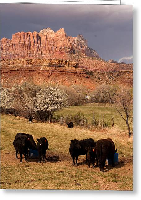 Geobob Greeting Cards - Black Angus Cattle in Dry Pasture with Mount Kinesava Background Rockville Utah Greeting Card by Robert Ford