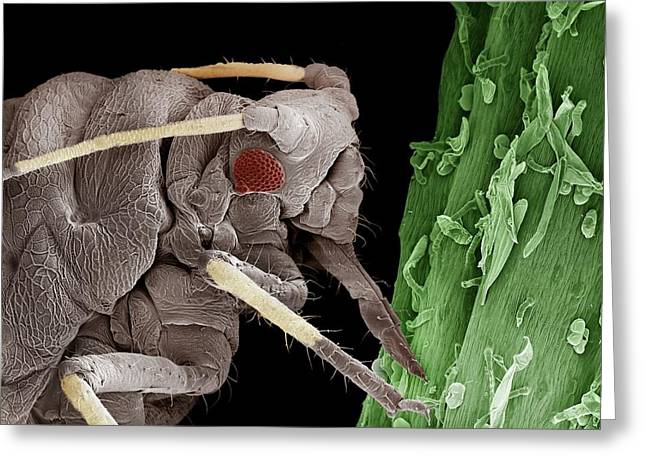 Black Aphid Feeding On Sap Greeting Card by Clouds Hill Imaging Ltd