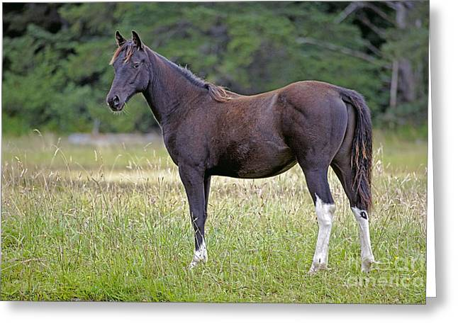 Yearling Horse Greeting Cards - Black Arabian Yearling Greeting Card by Rolf Kopfle