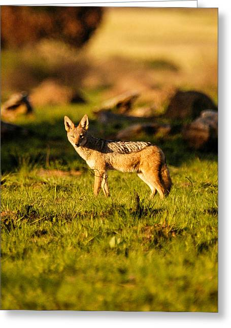 Eyes Wide Open Greeting Cards - Black backed jackal Greeting Card by Alistair Lyne