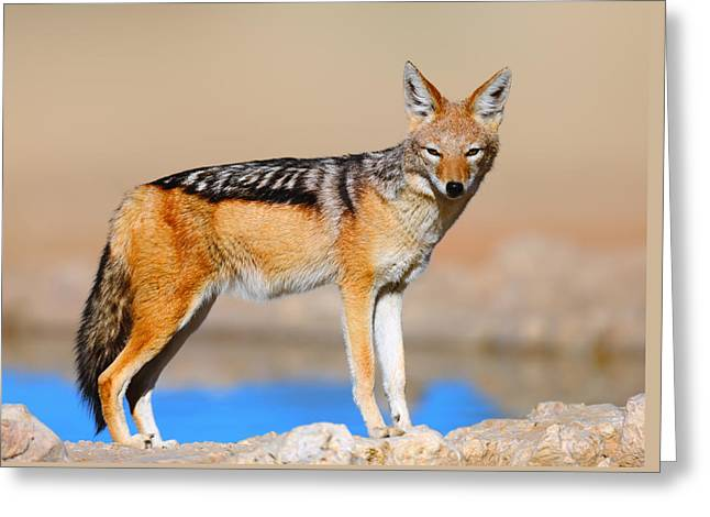 Carnivore Greeting Cards - Black-backed jackal Greeting Card by Johan Swanepoel