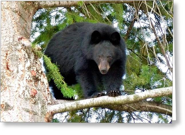 Cautious Greeting Cards - Black Bear 2 Greeting Card by Will Borden