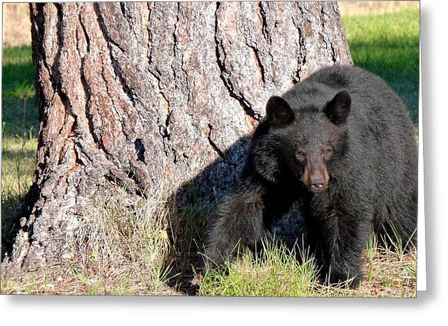 Cautious Greeting Cards - Black Bear 4 Greeting Card by Will Borden
