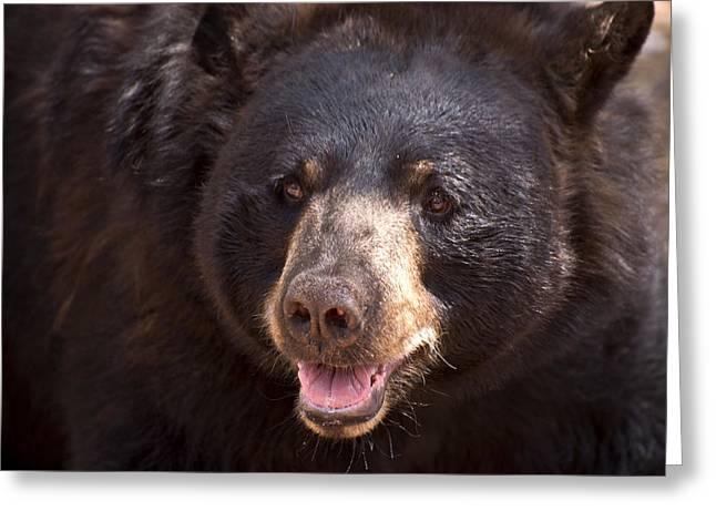 Bearizona Greeting Cards - Black Bear Greeting Card by Bj Lewis