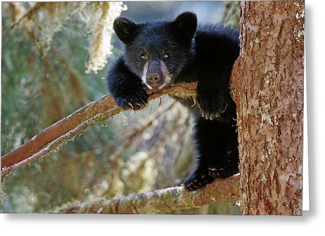 Tongass Greeting Cards - Black Bear Cub Hanging Out In Tree Anan Greeting Card by Thomas Sbampato