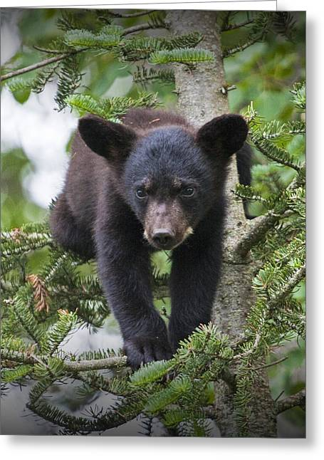 Randy Greeting Cards - Black Bear Cub in a Pine Tree outside of Orr Minnesota Greeting Card by Randall Nyhof