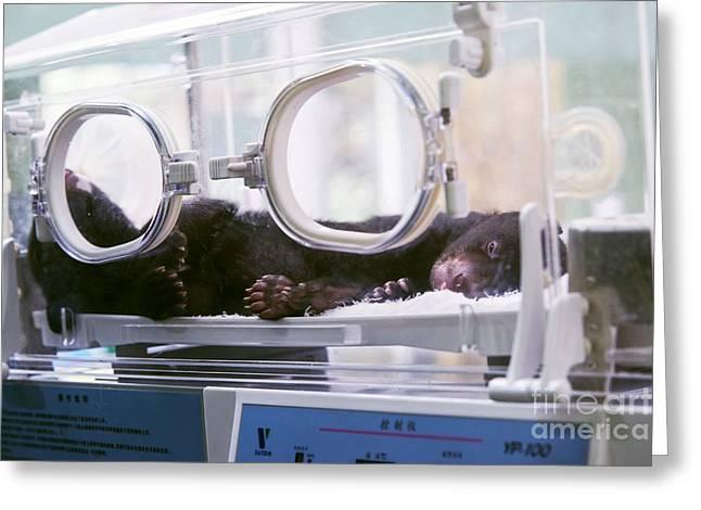 Chinese Newborn Greeting Cards - Black Bear Cub In Incubator Greeting Card by Pan Xunbin