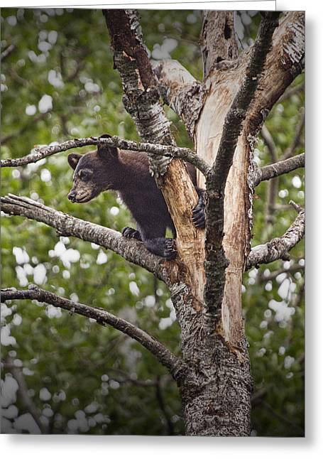 Vince Greeting Cards - Black Bear Cub outside of Orr Minnesota Greeting Card by Randall Nyhof