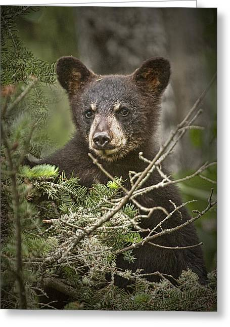 Black Bear Cub Peeking Over Pine Branches Greeting Card by Randall Nyhof
