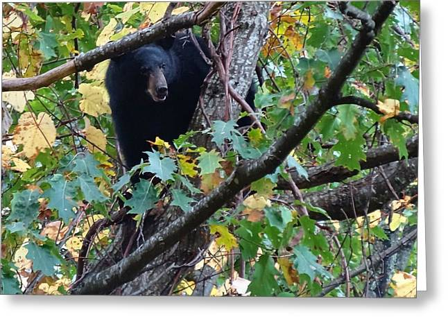 Tennesee Greeting Cards - Black Bear Greeting Card by Dan Sproul
