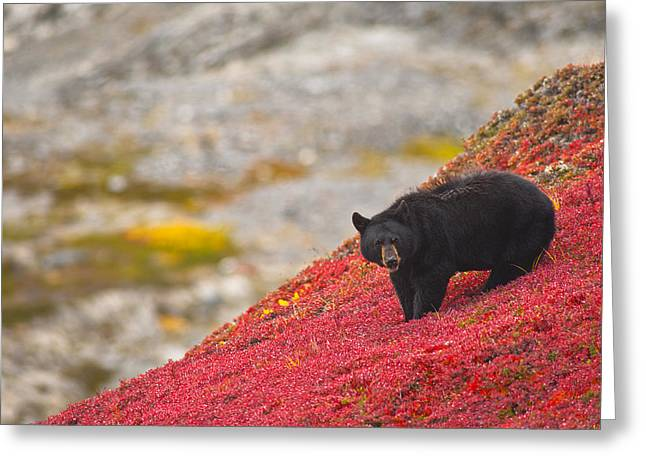 Black Berries Greeting Cards - Black Bear Foraging For Berries On A Greeting Card by Michael Jones