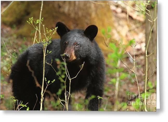 Geraldine Deboer Greeting Cards - Black Bear Greeting Card by Geraldine DeBoer