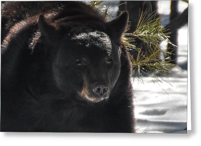 Bearizona Greeting Cards - Black Bear Greeting Card by Pamela Schreckengost