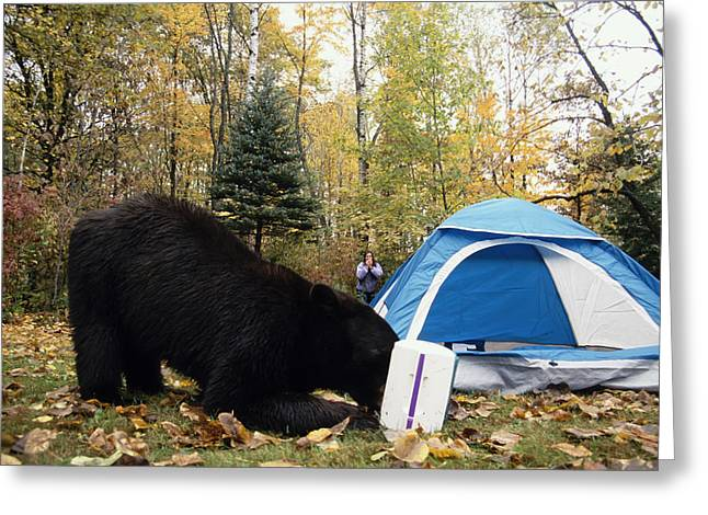 Scavenge Greeting Cards - Black Bear Raiding Campsite Minnesota Greeting Card by Michael DeYoung